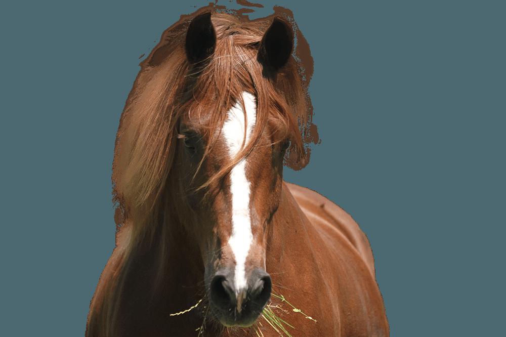 Pferdekopf eines Freibergers